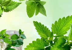 Whenever you face any health and beauty problem, go for benefits of mint leaves, all your problems will have a guaranteed solution by making use of mint!
