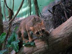 Gato rojo manchado