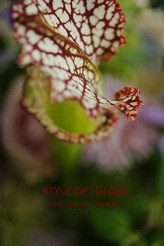 サラセニア 食虫植物|JOY-PHOTO!