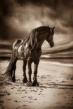 Friesian beauty