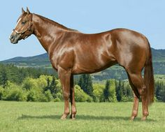 AQHA quarter horse stallion  racing  Dashing Vike. photo: Don Shugart.