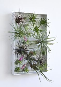 "The variety of textures, colors, and forms of tillandsia air plants allows them to be used the way a painter does paint. The frame allows them to be rearranged at will. Airplantframes bring out everyone's inner ""air plant artist."""