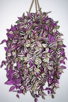 How to grow a Wandering Jew plant care guide. Learn about water, light, fertilizer, propagation. See a picture, get answers to Wandering Jew plant questions. Best Indoor Plants, Outdoor Plants, Garden Plants, Porch Plants, Water Garden, Potted Plants, Cactus Plants, Container Plants, Container Gardening