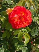 402074 - Rose (Rosa Bernadette Chirac)