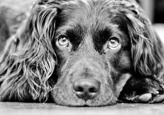 Boykin Spaniel, Swamp Poodle, LBD / Little Brown Dog sweetest dogs ever Boykin Spaniel Puppies, Spaniel Dog, Spaniel Breeds, I Love Dogs, Cute Dogs, Working Cocker, Working Dogs, Dogs And Puppies, Doggies