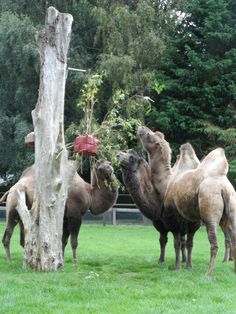 Hanging firehose cube with willow wedged in.  Camels kept returning to it throughout the day.