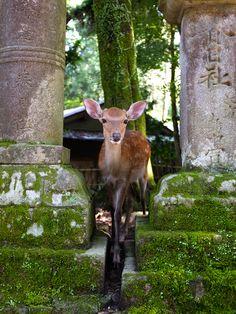 Nara Deer - Japan