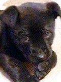 Durham, NC - Labrador Retriever/Chow Chow Mix. Meet Abigail a Puppy for Adoption. adoption paperwork submitted