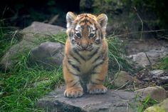 Tiger cub @ Dierenpark Amersfoort  | Flickr