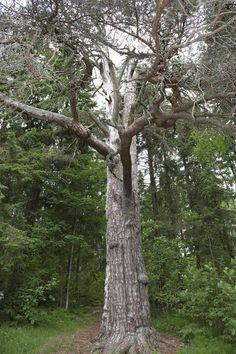 Hämeenkyrössä sijaitseva Timin mänty on yksi aikoinaan pyhänä pidetty puu Suomessa.