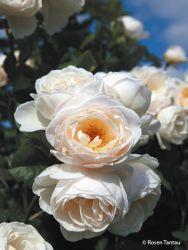 Kletterrose 'Uetersener Klosterrose' - Rosa 'Uetersener Klosterrose'