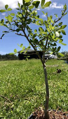 Bursera fagaroides  #bonsai #caudex #rareplant #raretree #frankincense  #raresucculent #boswellia Succulent Bonsai, Planting Succulents, Our Environment, Different Seasons, Tall Plants, Weekend Is Over, Mexico, Leaves, Nature