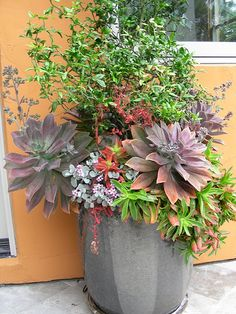 container planting Graptoveria 'Fred Ives', Crassula erosula 'Campfire', Kalanchoe pumila, and Poncirus trifoliata 'Flying Dragon'.  Trejo Garden in Albany, container planting at rear terrace, originally uploaded by davidfeix.
