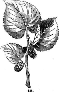 Trattato completo di agricoltura - Volume I Coltivazione del gelso Il gelso nero (morus nigra) (fig. 158), è l'antico moro che dalla Grecia e   dalla Sicilia si propagò nell'Italia e nella Spagna.
