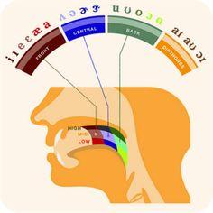 What phonetics teachers should use!! Where Our Bodies Produce Speech #language #linguistics
