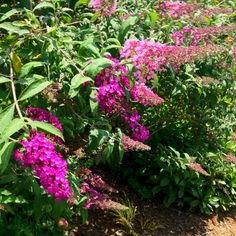 Here are two different buddleja planted next to each other. I think it's black knight and pink delight.