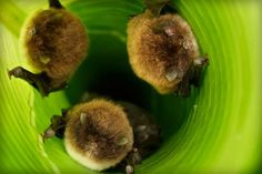 Bats use leaves as megaphones to call home  click link to watch video  http://www.batsrule.info/2016/08/bats-use-leaves-as-megaphones-to-call.html  Bats are climbing inside curled leaves and using them to amplify sound, marking the first time an animal has been observed using a tool to increase its vocalization range. A recent study has shown that Spix's disk-winged bat uses the shape of the leaves to boost the sound of both incoming and outgoing calls.