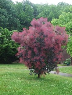 Smoke Tree (Cotinus coggygria 'Royal Purple') Shrub to small tree 12-15' tall. Description from pinterest.com. I searched for this on bing.com/images