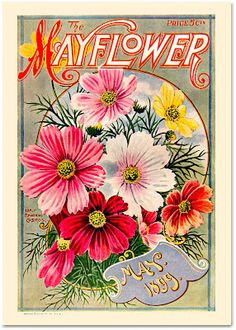 Mayflower cosmo flowers seed packet 1899