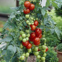 Pensastomaatti Totem Spring, Seasons, Fruit, Vegetables, Garden, Wall, Flowers, Garten, Seasons Of The Year