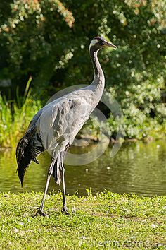 Crane - Grus - beautiful large and stately bird