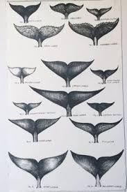 Image result for whale fluke chart