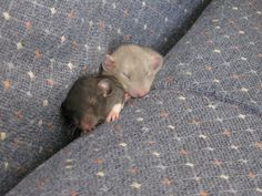 Baby dumbo fancy rats [Oh muh gosh the cute! Itty bitty squishes]