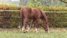 RUSSIANEYEV, pur-sang anglais, hongre, né en 2009, cherche une famille qui saura bien prendre soin de lui. Très gentil. http://www.equirodi.com/annonces/chevaux-a-vendre/pur-sang-anglais.htm