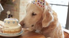 Precious! Last known surviving 9/11 search dog from Ground Zero enjoys 'Sweet 16' bash.