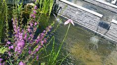 Iris et Salicaire rose - poussin's garden