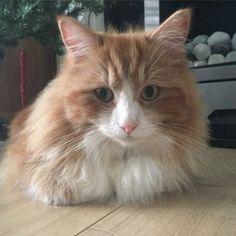 LOST CAT: 01/06/2017 - Maidenhead, Berkshire, England, United Kingdom. Ref#: L31165 - #CritterAlert #LostPet #LostCat #MissingCat