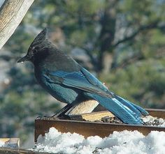 Steller's Jay visiting in the winter here at Blue Mountain Bed and Breakfast.