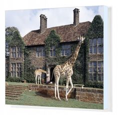 Rothschild giraffes at The Giraffe Manor on the outskirts of Nairobi. The centre is a popular tourist destination cm) Fine Art Print Framed, Poster, Canvas Prints, Puzzles, Photo Gifts and Wall Art Kenya Nairobi, Game Lodge, Weird Pictures, African Animals, Travel Images, Animal Behaviour, Luxury Travel, Places To See, Around The Worlds