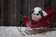 Charlie self chinchilla baby Holland lop bunny in a Santa sleigh for Christmas.