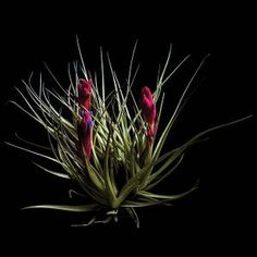 Tillandsias, or air plants, come in a seemingly endless range of shapes and colors—here's our slide show of 10 of our favorites.