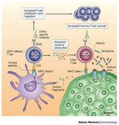 T cells | Figure 3 : Therapeutic targeting of the effector T-cell co-stimulatory ...