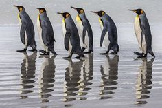 Photograph by @paulnicklen for @natgeo // King penguins cast their reflection as they travel in single file across the white sand beaches of the Falkland Islands.  #Followme to see much more from this paradise. #penguin #nature #gratitude  #MPA #10by2020 #wildlife #gratitude #explore #nature #smile #love #beauty #adventure #travel @natgeocreative @thephotosociety #instagood #tbt #follow #photooftheday #happy #tagforlikes #beautiful #like #picoftheday