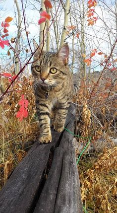It's common to talk about tabbies as if they represent a cat breed. In fact, the word tabby denotes a coat pattern. Excellent What It Means to Be a Tabby Cat Ideas. Cool Cats, I Love Cats, Crazy Cats, Pretty Cats, Beautiful Cats, Animals Beautiful, Cute Animals, Baby Animals, Cute Kittens
