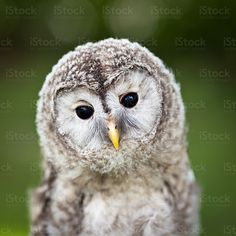 Close up of a baby Tawny Owl (Strix aluco) royalty-free stock photo