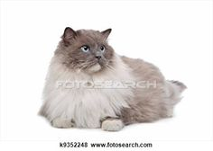 """""""Ragdoll Cat"""" - Cat stock photos available on Fotosearch.com"""