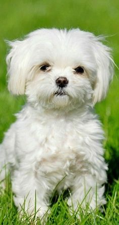Check out our list of the best hypoallergenic dogs that don't shed including small, medium, big and kid-friendly, non-shedding dogs. Animals And Pets, Baby Animals, Funny Animals, Cute Animals, Baby Cats, Cute Puppies, Cute Dogs, Dogs And Puppies, Doggies