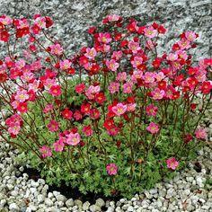 Espèces persistantes Saxifrage mousse (Saxifraga x arendsii)
