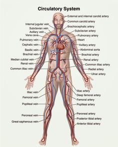 Human&Animal Anatomy and Physiology Diagrams: Circulatory system diagram
