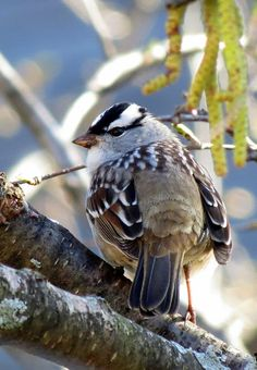 White-crowned Sparrow / Migrates thru No, America in the winter.