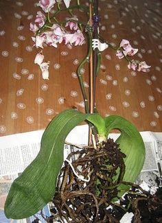 Záchrana orchideje (svraštělé listy, usychání květů, opadávání poupat, hnijící kořeny) - Zahrada - celý návod - MojeDílo.cz