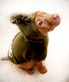George loved his dinosaur outfit.  #Vizsla puppy :-))  I said why would you do that? She said ohhh that's so cute.
