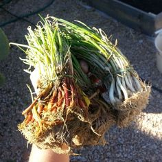 Tips for easy onion planting and growing.