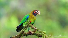 Brown-hooded Parrot (Pionopsitta haematotis) Costa Rica