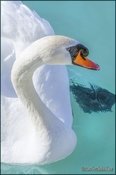 Mute Swan on St Clair River By LeeAnn McLaneGoetz McLaneGoetzStudioLLC.com As the March temperatures start to edge above freezing the mute swans seek the open waters near Algonac Michigan looking for food. #Swan,#Michigan, #McLaneGoetzStudioLLC.com
