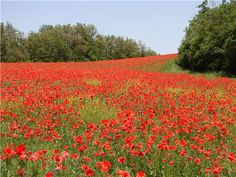 Poppy Field in Haute Provençe, France